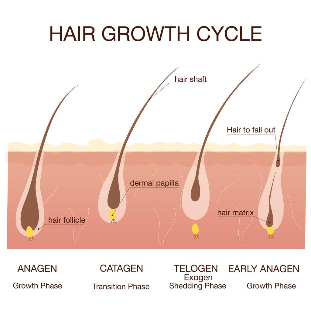 beautical eyelash enhancing serum hair growth cycle anagen telogen catagen